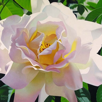BRIAN DAVIS ARTIST Single Pristine Rose by Artist Brian Davis